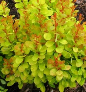 "Berberys Thunberga Berberis thunbergii  ""Golden Dream"""