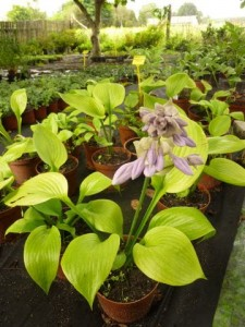 Funkia-Hosta 'Sum and Substance'   3l